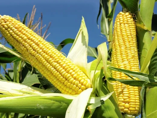 FG Approves Cultivation Of Genetically Modified Maize